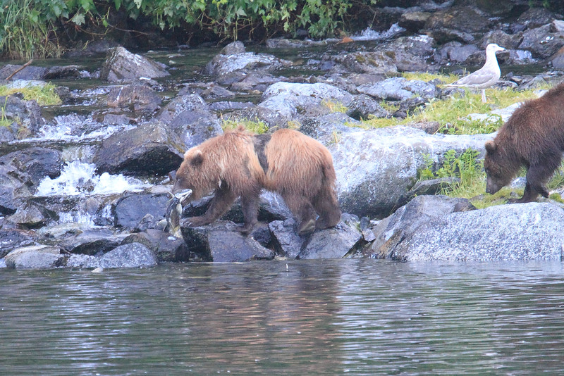 Brown_Bears_Alaska_2014_0035