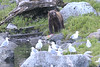 Brown_Bears_Alaska_2014_0043