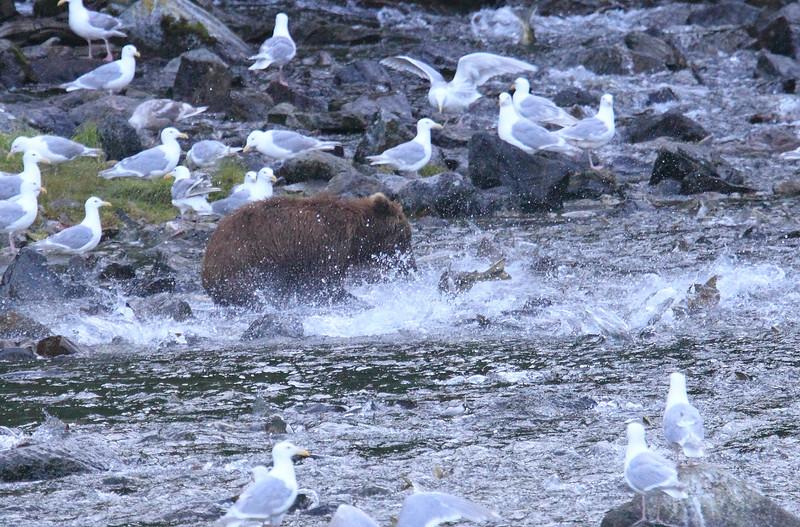 Brown_Bears_Alaska_2014_0032
