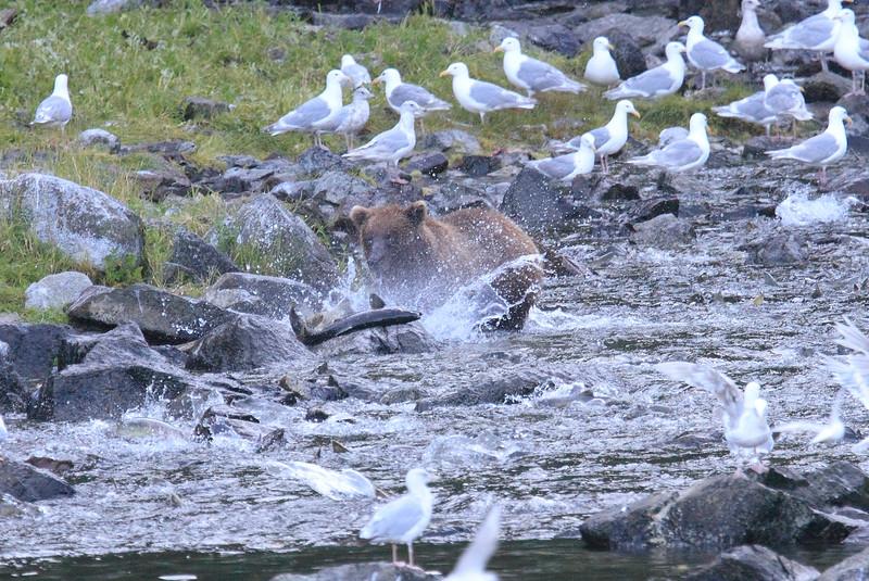 Brown_Bears_Alaska_2014_0025