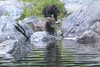 Brown_Bears_Alaska_2014_0167