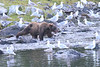 Brown_Bears_Alaska_2014_0041