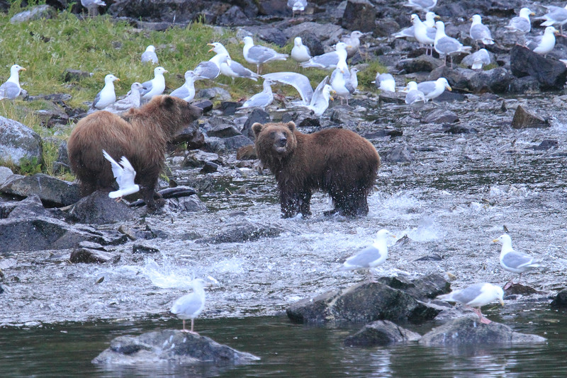 Brown_Bears_Alaska_2014_0023