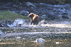 Brown_Bears_Alaska_2014_0017