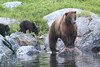 Brown_Bears_Alaska_2014_0163