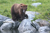 Brown_Bears_Alaska_2014_0162