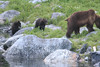 Brown_Bears_Alaska_2014_0158