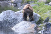 Brown_Bears_Alaska_2014_0047