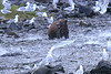 Brown_Bears_Alaska_2014_0031