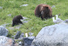 Brown_Bears_Alaska_2014_0160