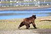 FishingBear_Canon_2018_Alaska_0016