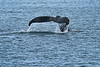 Humpback_Tail_Sony_2018_Alaska_0252