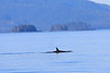 Orca_Canon_2018_Alaska_0053