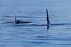 Orca_Canon_2018_Alaska_0039