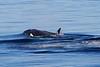 Orca_Canon_2018_Alaska_0018