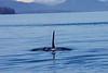 Orca_Canon_2018_Alaska_0019