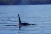 Orca_Canon_2018_Alaska_0036