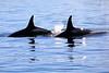 Orca_Canon_2018_Alaska_0052