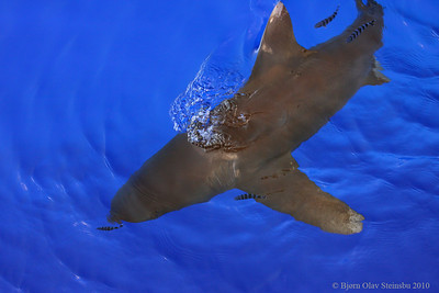 Oceanic White-tip Shark (Carcharhinus longimanus) accompanied by Pilot Fish (Naucrates ductor).