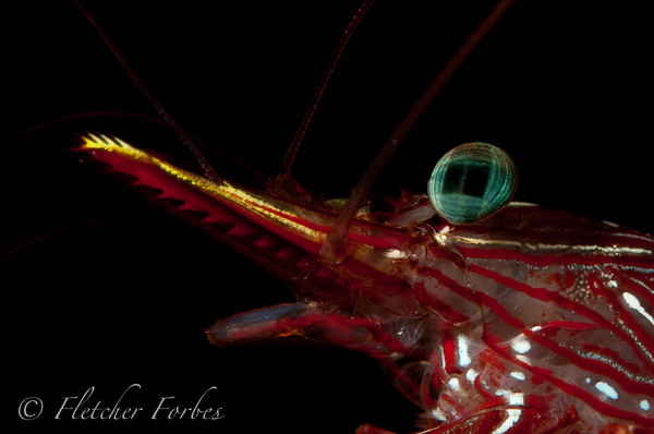 FIJ_8800-2 close up of a shrimp