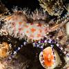 Serum shrimp