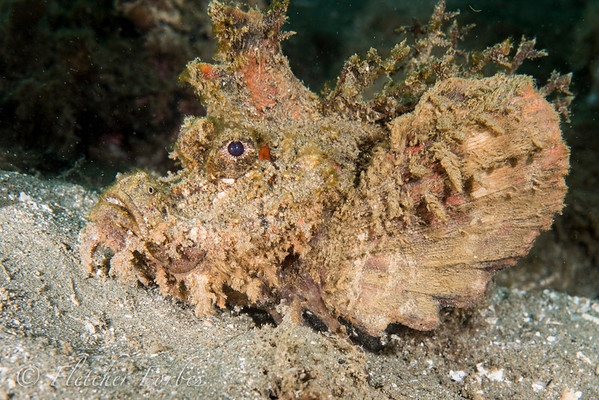 Ambon devilfish. His pectoral fins have evolved into claws for walking along the sand