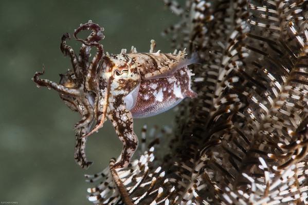 juvenile cuttlefish in a crinoid