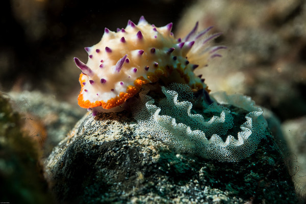 nudibranch with eggs