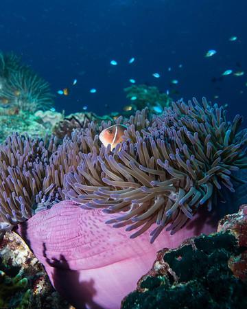 anemone and clownfish
