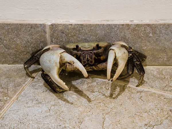 Disoriented crab in the resort hallway. I hope this wasn't the mangrove crab that John ate.