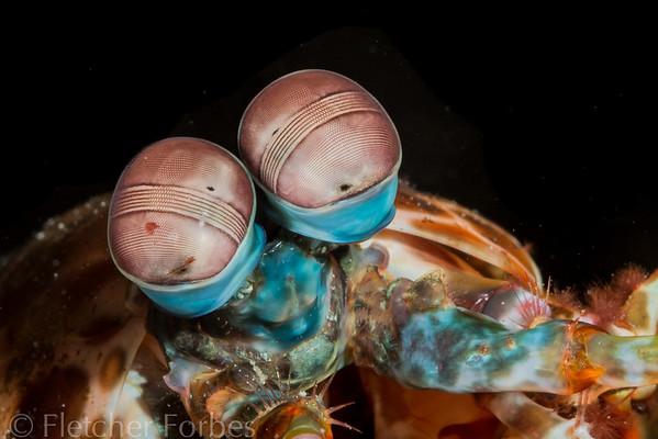 eyes of a peacock mantis shrimp