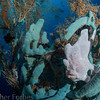 frogfish balancing on rope sponge, Sogod Bay