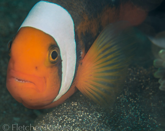 clownfish aerating his eggs
