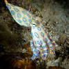 blue ringed octopus, Anilao