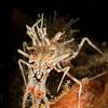 tiger shrimp, Sogod Bay