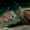 porcupinefish chatting up a coconut
