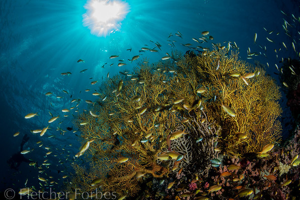 yellow fan and reef fish, Sogod Bay