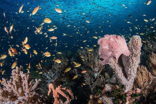 Sogod Bay frogfish