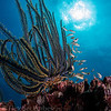 feather star ( crinoid) and glassy sweepers