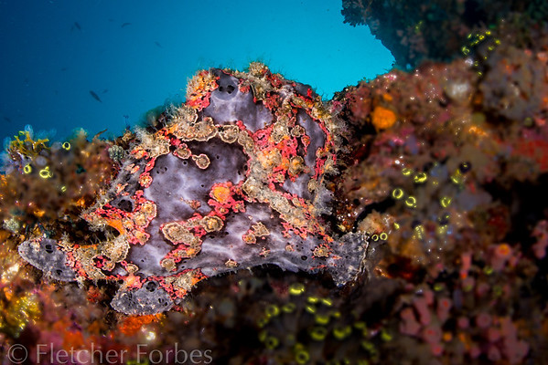 warty frogfish, on Anilao wreck
