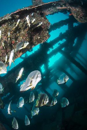 batfish school in Anilao wreck