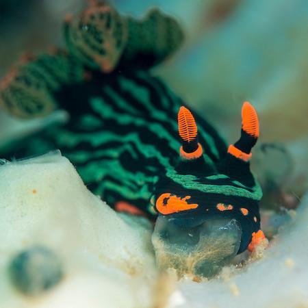 nudibranch feeding on a tunicate - Anilao