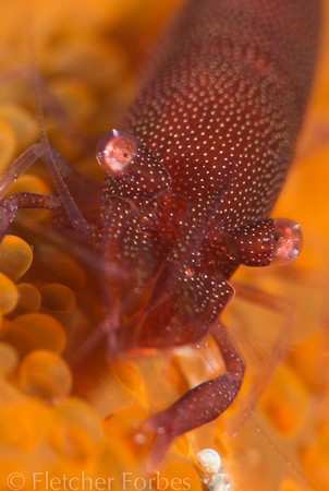 emperor shrimp on a sea star. 105mm lens and +10 diopter