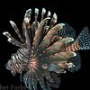 lionfish at Sogod Bay pier