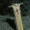 bobbitworm, night dive Anilao