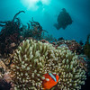 anemone and diver (Scott Geitler), Anilao