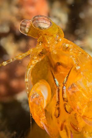 yellow mantis shrimp - Sogod Bay