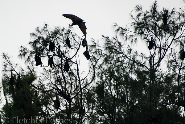 Tree bats, Vava'u Tonga