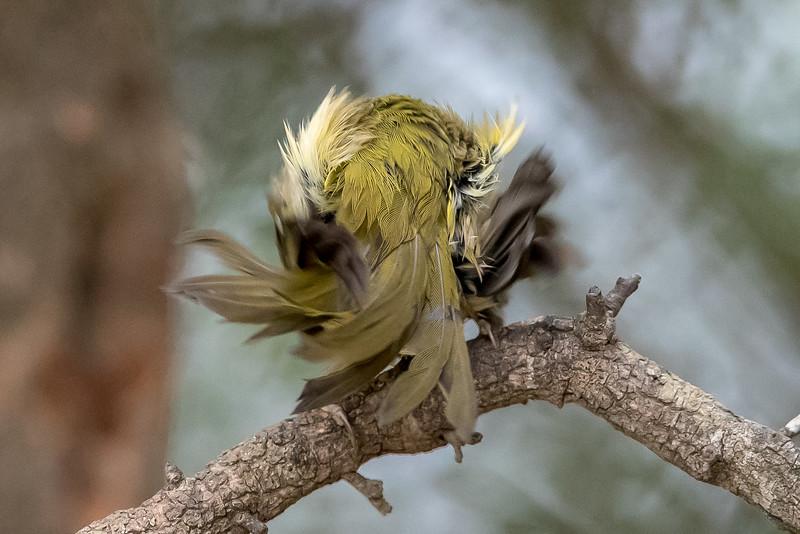 Common yellowthroat, Geothlypis trichas