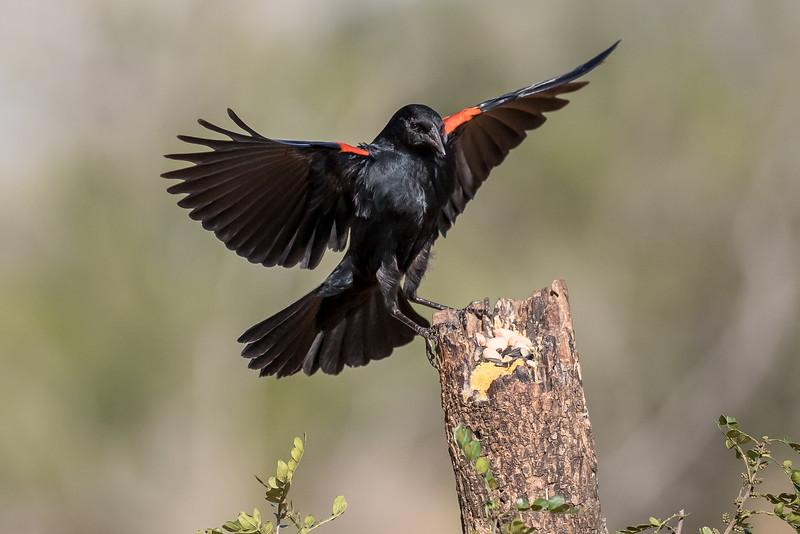 Red-winged Blackbird, Agelaius phoeniceus